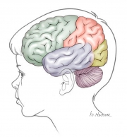 Lobes of the Brain in a 3 Year-old Child