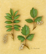 Identifying Poison Sumac, Oak, and Ivy